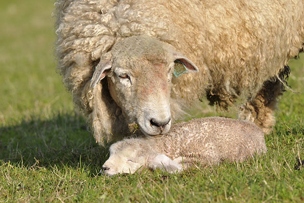 Sheep-Lamb