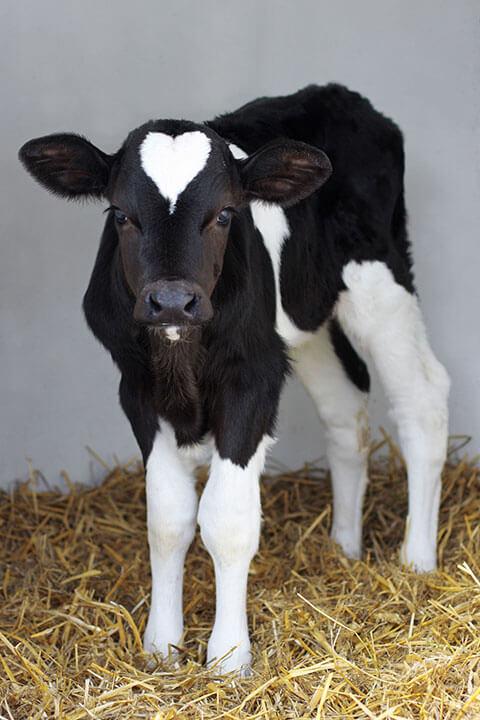 calf-blk